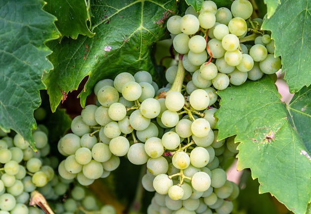 Uva Pinot Blanc origina vinhos com aromas de flores e mel, explica sommelier