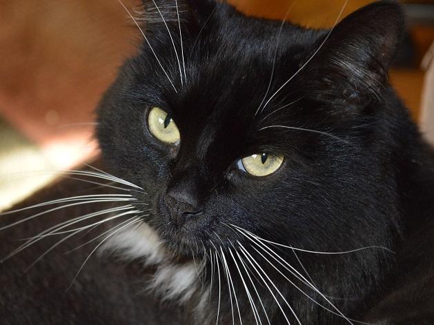Gatos pretos são os mais abandonados e rejeitados para adoção