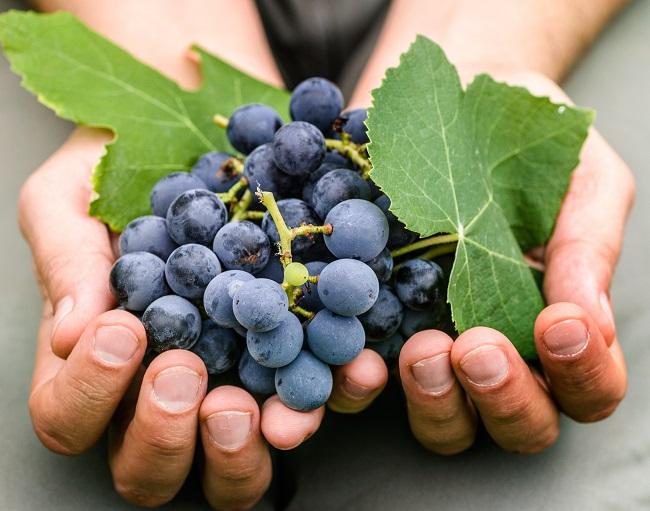Sabia que a primeira vinha plantada no Brasil foi na Serra do Mar, em SP? Leia mais