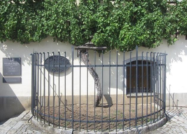 Vinha mais antiga do mundo fica na Eslovênia e tem 400 anos