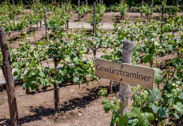 Conheça a Gewürztraminer, uva alemã que produz vinhos superaromáticos
