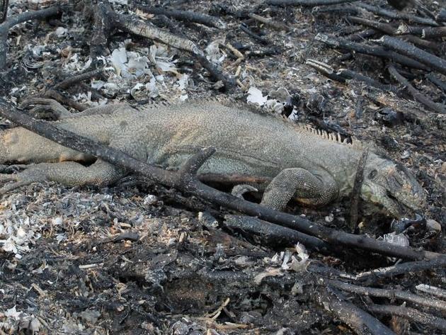 Queimadas no Pantanal mataram mais de 17 milhões de animais