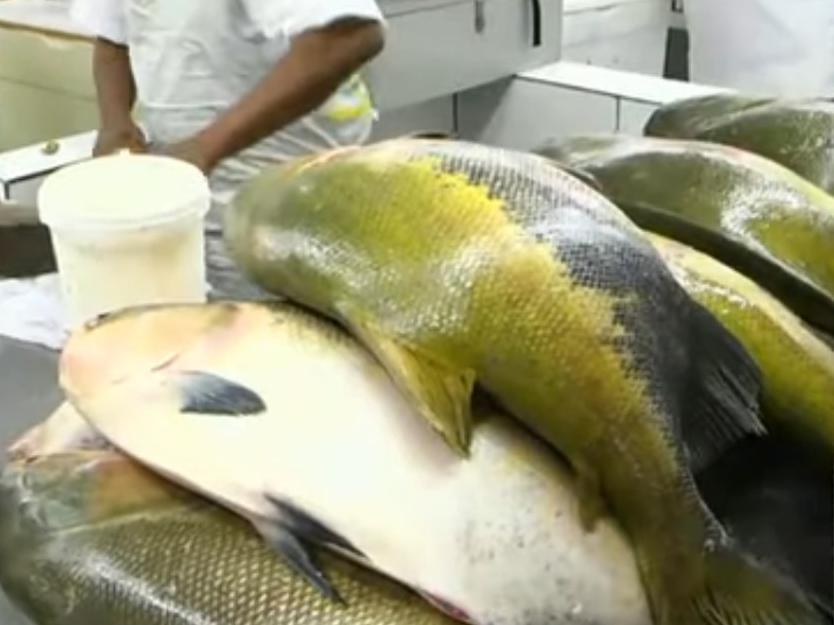 """Amazonas tem 6 novos casos de doença """"doença da urina preta"""" causada por peixes"""
