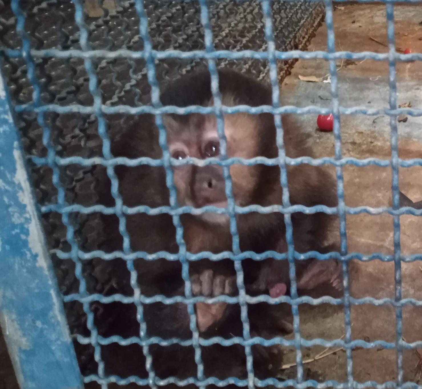 Macaco prego é resgatado pela Polícia Militar Ambiental, em Caraguatatuba