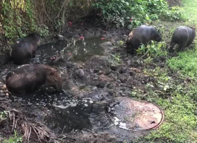 Capivaras se banhando na poça de esgoto na Lagoa, no Rio