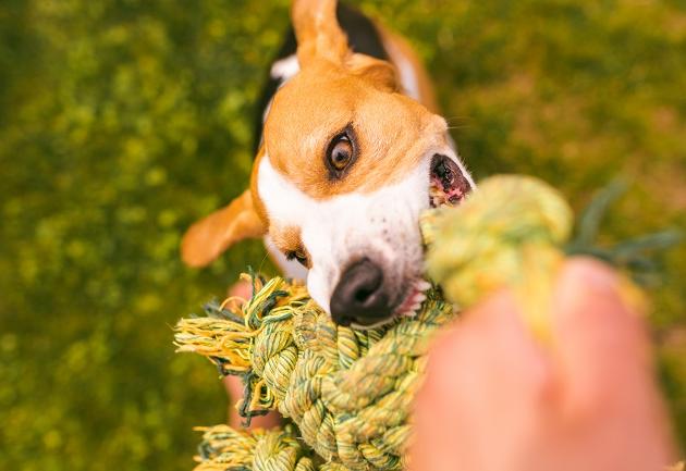 Boca do meu cachorro sangra ao brincar de cabo de guerra, e agora? Manu Karsten responde
