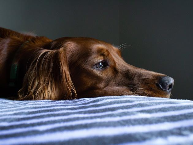 Ansiedade em pets piora na quarentena e prejudica saúde dos animais