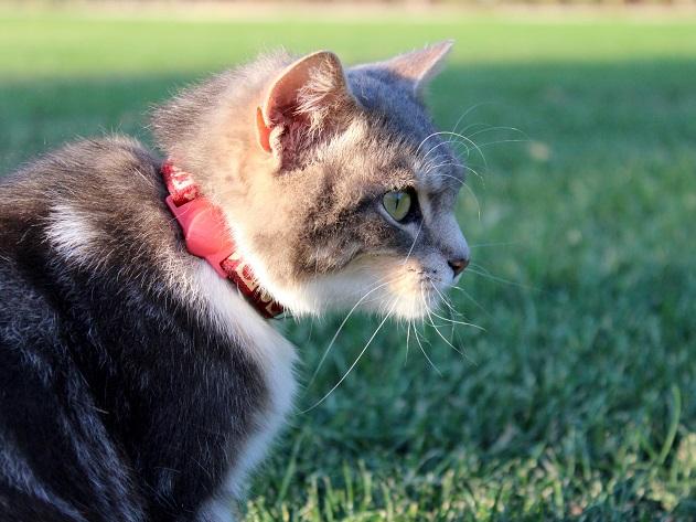 Como evitar que o gato saia para caçar ratos? Veterinária responde
