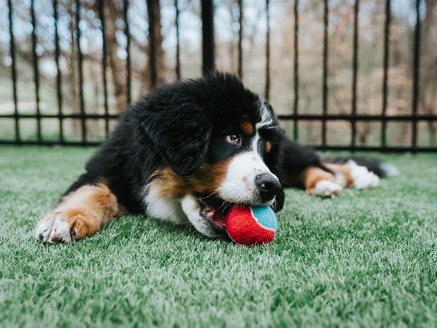 Por que meu cachorro chora ao perder a bolinha? Veterinária explica