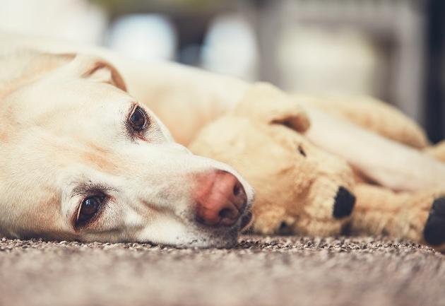O que fazer quando o cachorro desenvolve gravidez psicológica? Manu Karsten responde