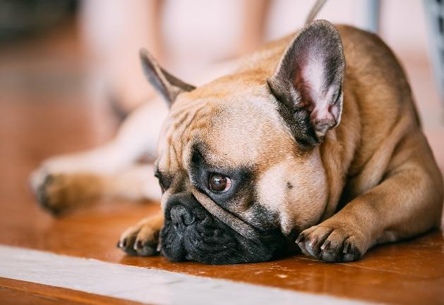 Quando um cachorro morre o outro sente falta? Manu Karsten responde