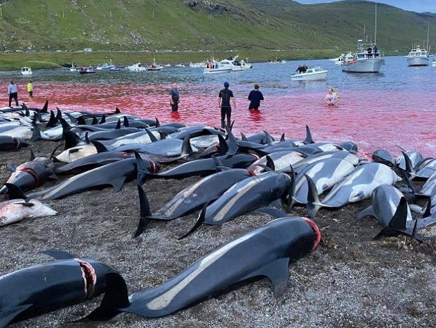 """Protestos após """"tradição"""" de matança de golfinhos fazem Ilhas Faroé reavaliarem lei"""
