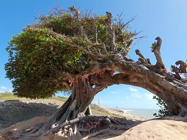 Conheça a Árvore de Amor, ponto turístico para supersticiosos no RN