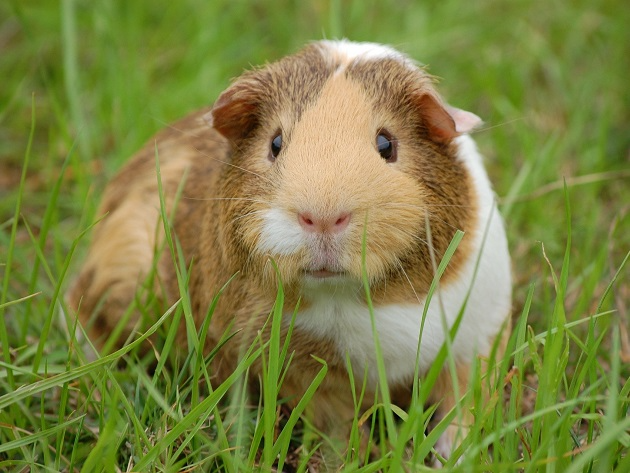 Por que a vitamina C é importante para porquinhos-da-índia? Manu Karsten explica