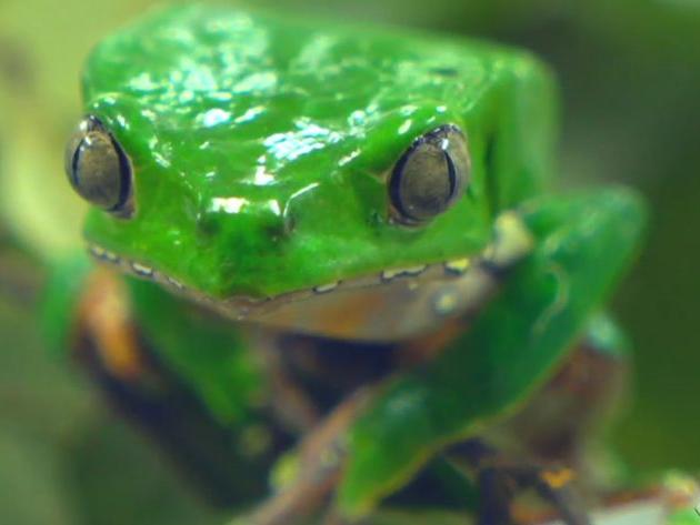 """""""Segredos da Amazônia"""": veneno do sapo kambô pode ajudar a curar doenças"""
